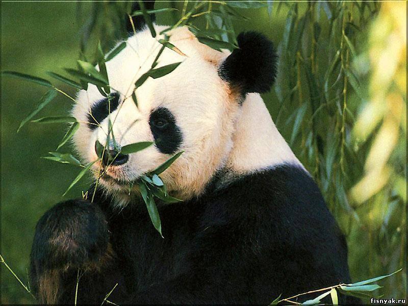 http://zooanimal.ucoz.ru/panda1.jpg